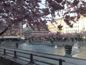 Colour photograph showing Kungsträdgården, a principal piazza in Central Stockholm lined with Cherry Blossoms, on a beautiful, sunny April evening. Click to enlarge. Photograph taken by CJ Walsh. 2009-04-25.